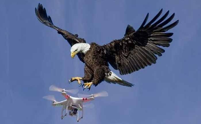 Bald eagle shows air superiority, takes down government drone and sends it into Lake Michigan