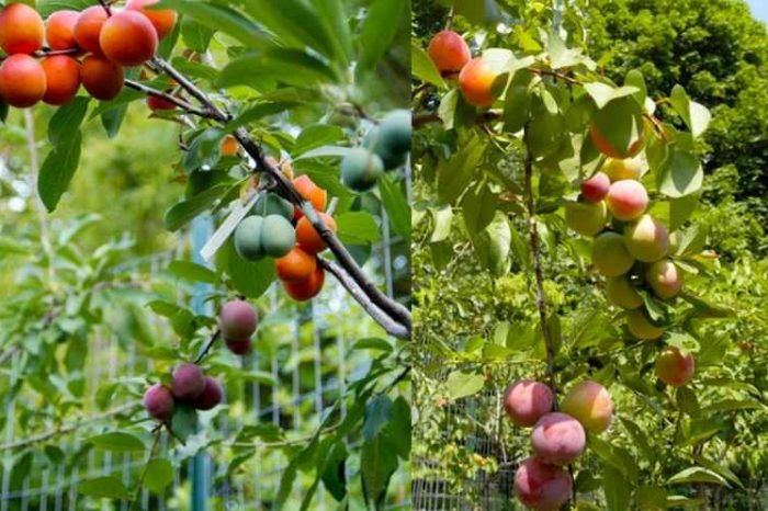 The Tree of 40 Fruit: Art professor grows a single tree that can produce 40 types of fruits using 'chip grafting' technology
